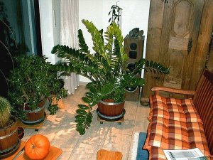 bild zamioculcas zamiifolia foto blume with zamioculcas giftig kind. Black Bedroom Furniture Sets. Home Design Ideas